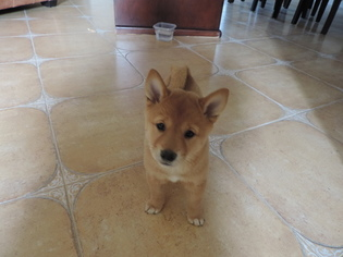 Shiba Inu Puppy for sale in CARLSBAD, CA, USA