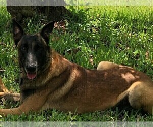 Father of the Belgian Malinois puppies born on 06/30/2021
