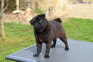 Pug Puppy For Sale in Veliko Turnovo, Veliko Turnovo, Bulgaria