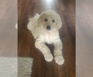 Labradoodle Puppy for Sale in MANNFORD, Oklahoma USA