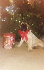 Mastiff Puppy for sale in TOPEKA, KS, USA
