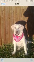 Labrador Retriever Dog For Adoption in DALLAS, TX, USA