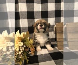 Pembroke Welsh Corgi Puppy for Sale in AYERSVILLE, North Carolina USA