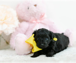 Small #3 Pomeranian-Poodle (Toy) Mix