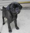 Pug Puppy For Sale in MARSHALL, WI, USA