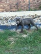 Labrador Retriever Puppy For Sale in AVINGER, TX