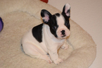 French Bulldog Puppy For Sale in BAD AXE, MI, USA