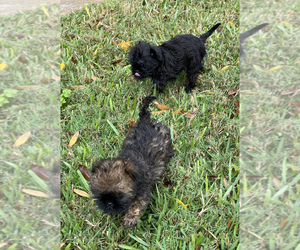 Brussels Griffon Puppy for sale in PALMETTO, FL, USA