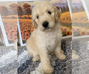 Goldendoodle Puppy for Sale in DANIELSVILLE, Georgia USA