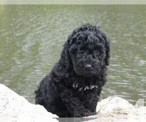 Poodle (Standard) Puppy for sale in KOKOMO, IN, USA