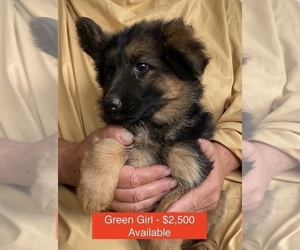 German Shepherd Dog Puppy for Sale in COUPEVILLE, Washington USA