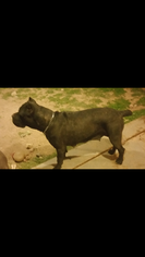 Mother of the Cane Corso puppies born on 01/23/2019