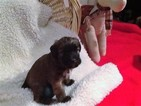 Soft Coated Wheaten Terrier Puppy For Sale in SANTAQUIN, UT
