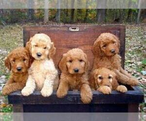 Goldendoodle-Unknown Mix Puppy for sale in INDIANAPOLIS, IN, USA