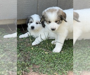 Great Pyrenees Puppy for sale in RUTHERFORDTON, NC, USA