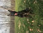 Dutch Shepherd Dog Puppy For Sale in SARASOTA, FL