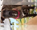 Small #491 Rottweiler Mix