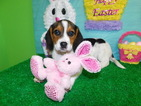 Beagle Puppy For Sale in HAMMOND, Indiana,