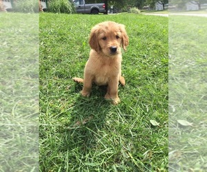 Golden Retriever-Goldendoodle Mix Puppy for sale in BLUE SPRINGS, MO, USA