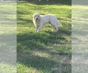 Golden Retriever Puppy for sale in ADAIRSVILLE, GA, USA