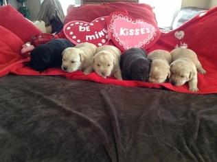 Labrador Retriever Puppy For Sale in HICKORY, NC
