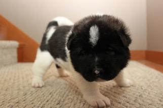 Akita Puppy For Sale in GATE, WA, USA
