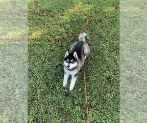 Siberian Husky Puppy for sale in CARROLLTON, VA, USA