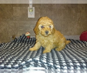 Poodle (Toy) Puppy for Sale in MILFORD, Indiana USA