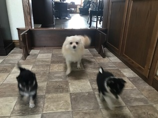 Father of the Pom-Shi puppies born on 11/22/2018