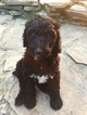 Poodle (Standard) Puppy For Sale in MARTINSVILLE, Virginia,