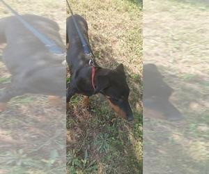 Doberman Pinscher Puppy for Sale in TOLEDO, Ohio USA