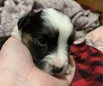 Small #2 Miniature Australian Shepherd