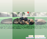 Small Photo #5 Belgian Malinois Puppy For Sale in CHANDLER, AZ, USA