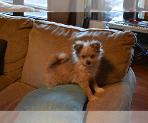 Shiranian Puppy for Sale in DINWIDDIE, Virginia USA