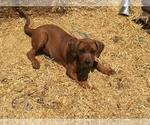 Small Photo #1 America Bandogge Mastiff-Mastiff Mix Puppy For Sale in FORT GARLAND, CO, USA