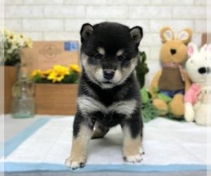 Shiba Inu Dog for Adoption in MANHATTAN, New York USA