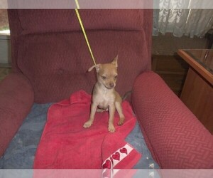 Chihuahua Puppy for sale in ELM MOTT, TX, USA
