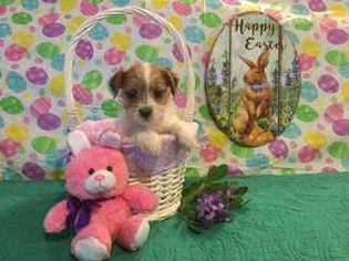 Puppyfinder com: Jack Russell Terrier puppies puppies for