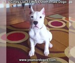 Small Photo #180 Dogo Argentino Puppy For Sale in PINEVILLE, MO, USA