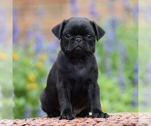 Pug Puppy for sale in MIFFLINBURG, PA, USA