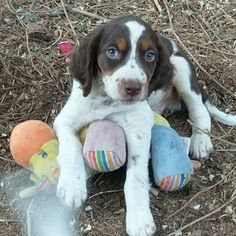 Brittany Puppy For Sale in TUCKER, GA