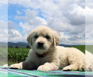 English Cream Golden Retriever Puppy for sale in WAYNESBORO, PA, USA