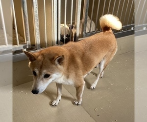 Mother of the Shiba Inu puppies born on 09/09/2020