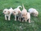 Lab Pups Field Trial