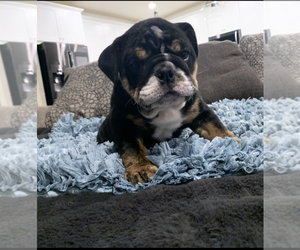 English Bulldog Puppy for sale in SAN BERNARDINO, CA, USA