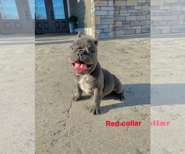 Medium Photo #10 French Bulldog Puppy For Sale in CLACKAMAS, OR, USA