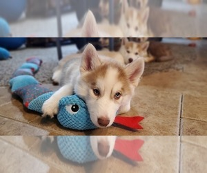 Siberian Husky Puppy for sale in CALDWELL, ID, USA