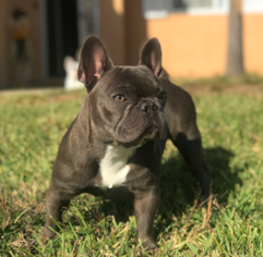 Mother of the French Bulldog puppies born on 01/21/2019