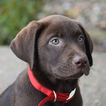 Labrador Retriever Puppy For Sale in KELLY, KS, USA