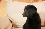Labrador Retriever Puppy For Sale in BLAIR, NE